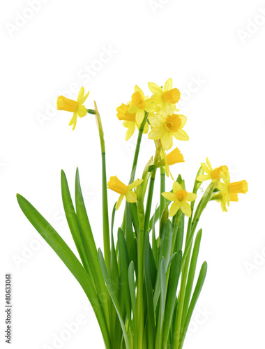 Plexiglas Narcis Jonquil isolated on white.