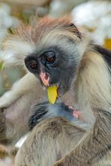 Zanzibar red colobus monkey with baby, Zanzibar