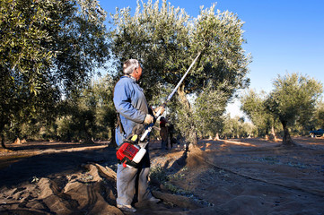 Senior men harvesting olives by means of an electrical tool