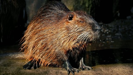 Beaver Next To Lake With Sun Shimmering Off Coat