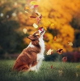 young border collie dog playing with leaves in autumn - 80636091