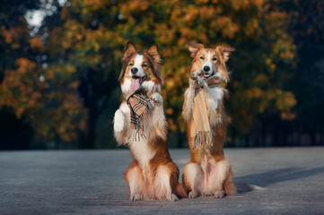 Two red dogs wearing a scarf in autumn