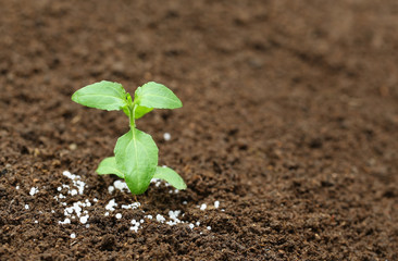 Holy basil plant in fertile soil with chemical fertilizer