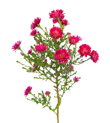 Red aster amellus flower