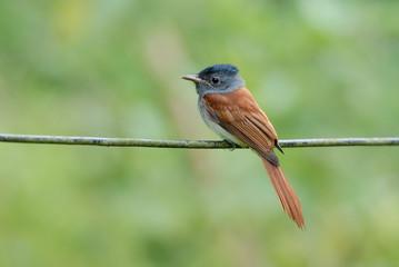 Bird (Asian Paradise Flycatcher) perching on wire