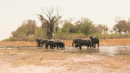 African elephants at waterhole