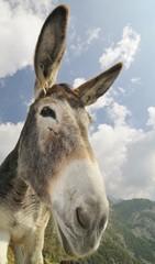 donkey, Equus africanus asinus