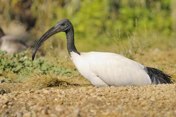 Sacred ibis, Threskiornis aethiopicus Latham