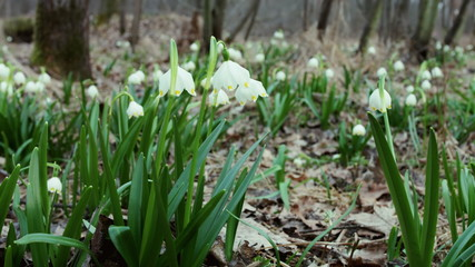 Herald of Spring. Lovely white and wild field Snowdrop Flower in