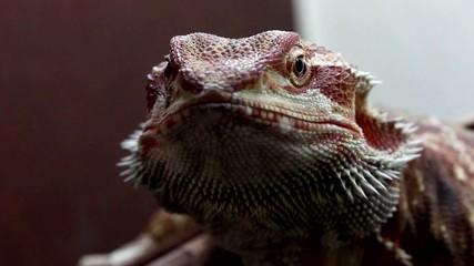Dragon Barbudo o Pogona, primer plano