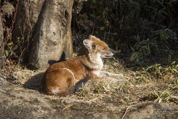 孤独なキツネ / Lonely fox