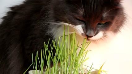 Gato comiendo pasto para purgarse