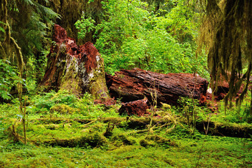 Hoh Rainforest in Olympic National Park in Washington state.