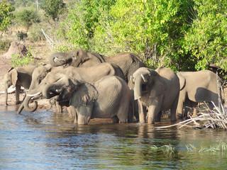 group of Elephants in Botswana