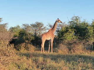 giraffe at evening time