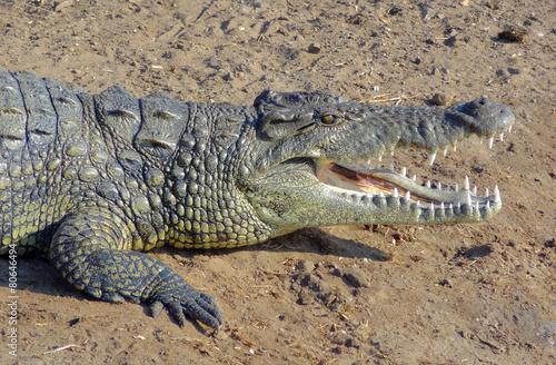 Fotobehang Krokodil african crocodile