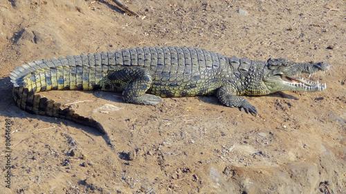 Spoed canvasdoek 2cm dik Krokodil african crocodile