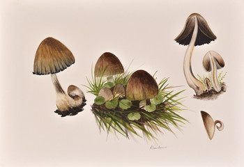 Original painting of mushrooms from Romanian forest