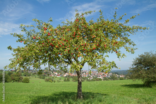 Leinwanddruck Bild Apfelbaum