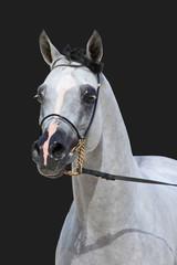 Purebred arabian stallion