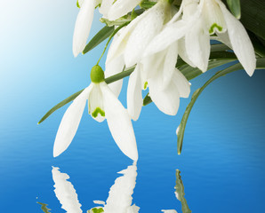 beautiful snowdrops on a blue background