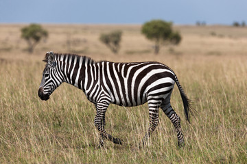 herd of zebras in the savanna of the Masai Mara