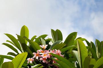 Frangipani bush