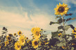 sunflower flower field blue sky vintage retro - 80658201