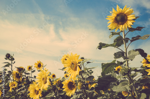 In de dag Zonnebloem sunflower flower field blue sky vintage retro