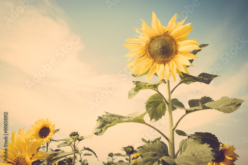 Foto op Canvas Zonnebloem sunflower flower field blue sky vintage retro