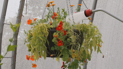 Watering the flowers with watering can