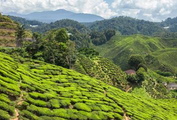 Tea plantation in the mountains