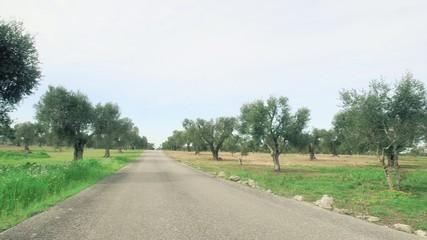 Strada in mezzo all'uliveto con pagliara