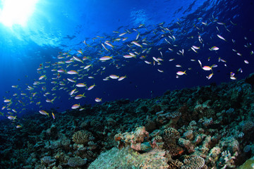 Shoal of small fish and coral reef
