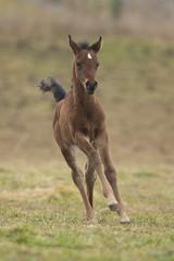 Fuchs Fohlen Läuft Auf Der Wiese
