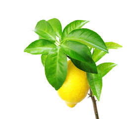 Lemon tree with fruit.