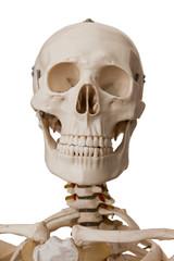 Human skeleton, isolated on white background
