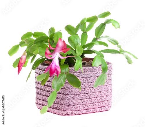 Foto op Canvas Cactus Kwiat kaktusa bożonarodzeniowego
