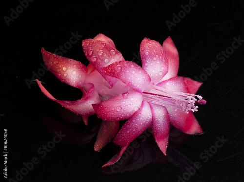 Plexiglas Cactus Kwiat kaktusa bożonarodzeniowego