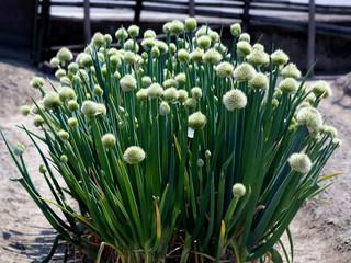ネギの白い花