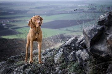 Vizsla on the top of the mountine