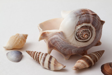 Shells of sea crustacean on a gradient gray background