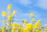 グライダーと菜の花