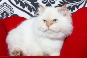 Gato aristocrático