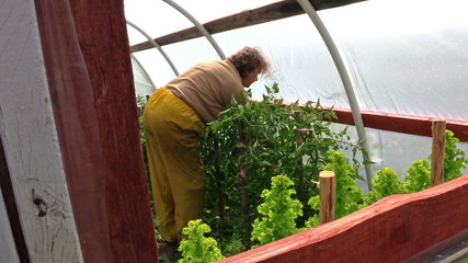 Old farmer woman care tomato plant in green house