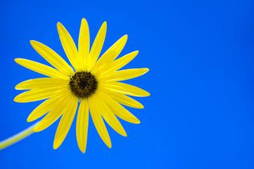 Gelbe Blume auf blau