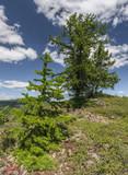 Республика Башкирия. Дерево Лиственница в Уральских горах.