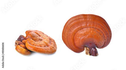 Lingzhi Mushroom Ganoderma Lucidum Isolated on white background - 80686606