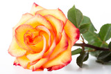 Yellow rose with a red border on petals on a white background