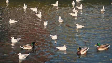 Ducks Startle Seagulls In Water